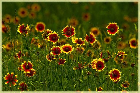 Facts About Daisy Flowers oklahoma state wildflower indian blanket