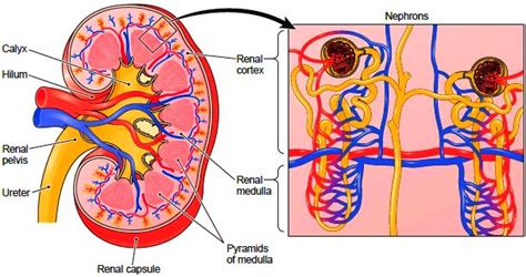Longitudinal Section Of A Kidney by Kidneys Structure Of The Kidney Nephron