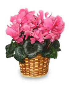 flowering house plants identification pictures of flowering house plants flowering house plant gifts flower shop network