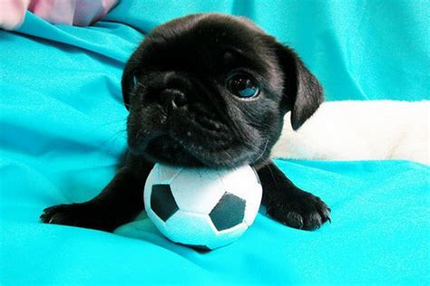 cuttest pug puppy photos doglers
