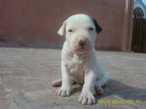 average price for pitbull puppies bully dogs puppies for sale price in delhi puppy