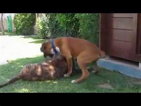 boerboel vs rottweiler boerboel rottweiler relacionados con breeds picture