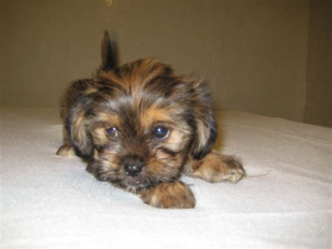shih tzu x yorkie for sale shih tzu x yorkie saxmundham suffolk pets4homes