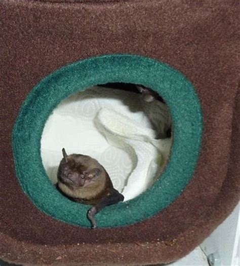 bat in bedroom while sleeping 17 best images about bats on pinterest baby bats cute