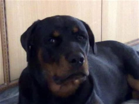 how to stop your rottweiler from shedding rottweiler 10 months breeds picture