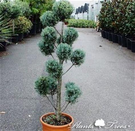 Pom Pom Kertas Uk 9cm cupressus arizonica fastigiata pom pon 120 140cm