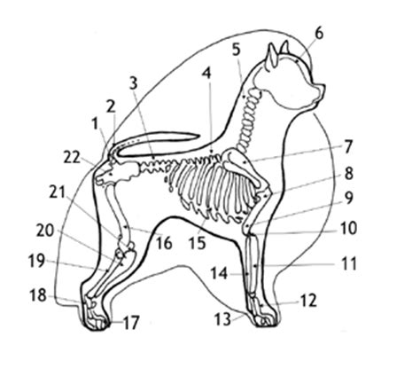 pomeranian anatomy this is the skeletal bones of the pomeranian and what i found intresting is that it