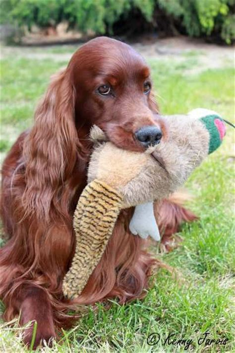 irish setter girl dog names dog names portrait and irish on pinterest