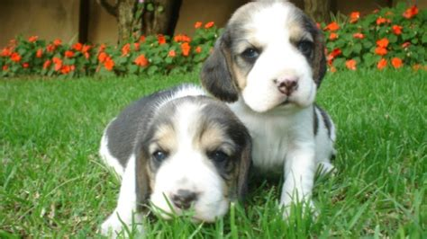 raising two puppies from different litters image gallery two puppies