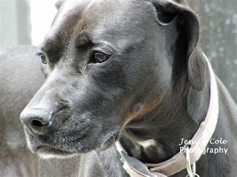 black lab boxer mix puppy kona black lab boxer mix beautiful pup cole photography boxer lab mix