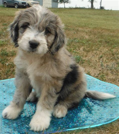 st berdoodle puppies merle colored miniature berdoodle puppy no shedding yelp