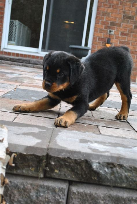 rottweiler puppy obedience 181 best animals images on