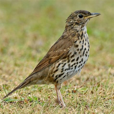 song thrush popular british birds gardenbird co uk
