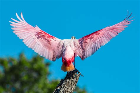 wings i roseate spoonbills unusual and oddly beautiful wading