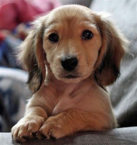 haired miniature dachshund puppies best 25 golden dachshund ideas on