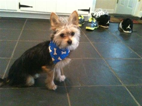 chorkie grooming 1000 images about i love my chorkie on pinterest dog