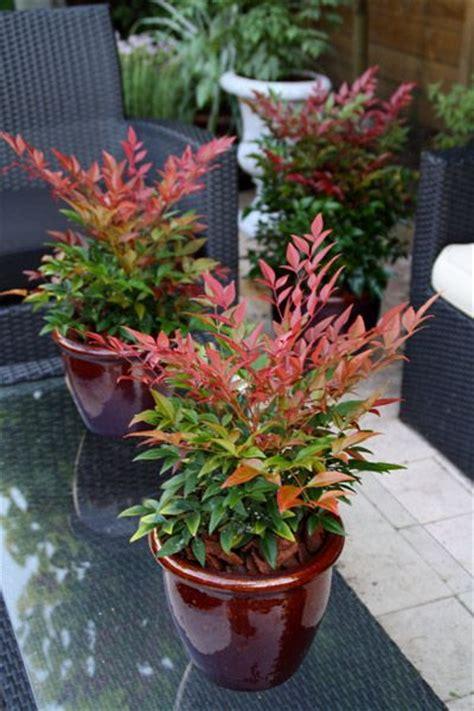 piante da vaso per esterno sempreverdi piante sempreverdi da vaso e giardino consigli e