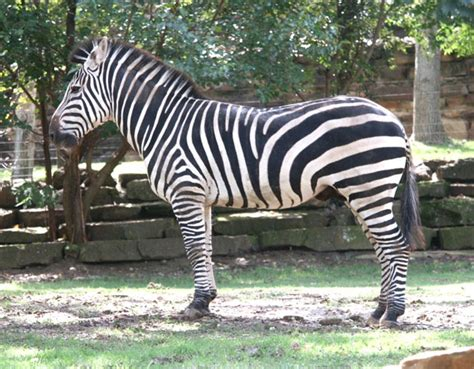 zebra facts plains zebra information of zebra journey