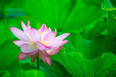 focus photography of pink lotus flower in bloom water pink lotus wallpaper best 4k wallpaper