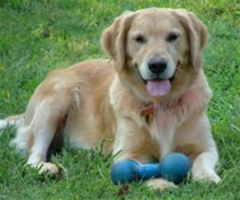 golden retriever breeders nc golden retriever puppies for adoption in carolina photo
