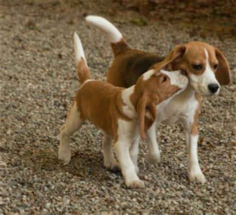 elenco cani da appartamento cani di piccola media e grande taglia tutto ze