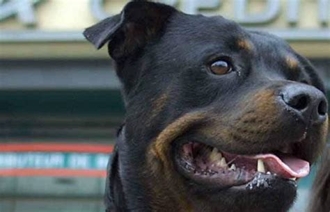 rottweiler attacks owner rottweiler attacks 84 year kamloops leaves needing 98 stitches