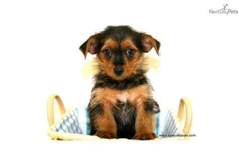 are yorkies smart dogs yorkie poo puppies trio breeds picture