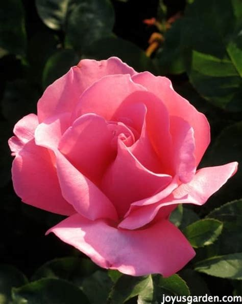 ask nell the best way to feed roses organically naturally