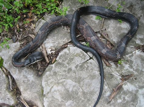 Black Snake by Black Rat Snake Pantherophis Obsoletus Reptiles And