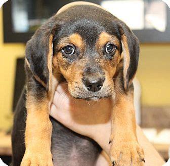 dachshund puppies nj milford nj beagle dachshund mix meet polly a puppy for adoption