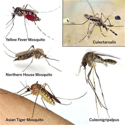 everything you must know about mosquitoes and zika this