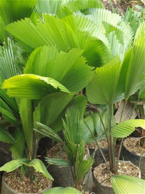 Bibit Tanaman Palm Merah jual tanaman hias dan desain landscape produk tanaman hias 4