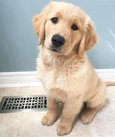 golden retriever puppies charleston sc 17 best ideas about golden puppy on retriever puppies golden retriever
