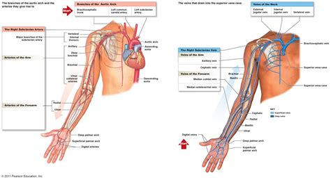 veins and arteries diagram human arteries diagram human veins and