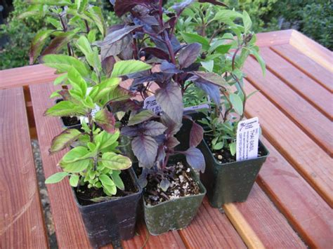 planting a culinary herb garden landscaping gardening the dirt on herbs in a landscape diy