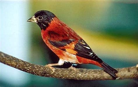 canarino alimentazione cardinalino