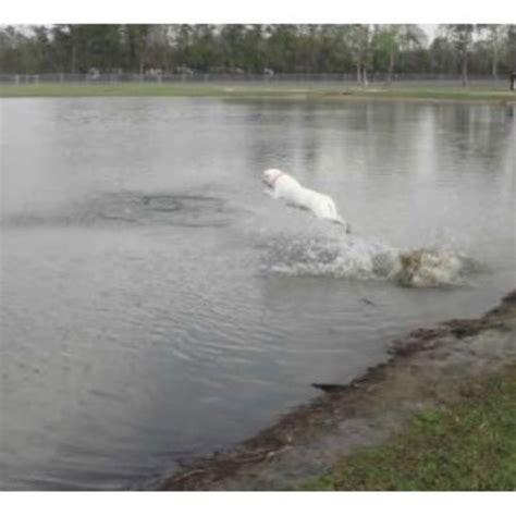 lab puppies iowa pearly gates labradors labrador retriever breeder in iowa