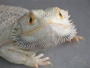 bearded dragon lizard nature extraordinary creatures