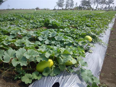 Benih Kelengkeng Yang Bagus cara menanam labu tanamanbaru