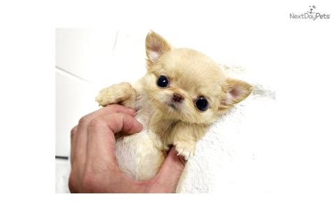 teacup puppies sale mississippi micro teacup chihuahua puppies for sale breeds picture