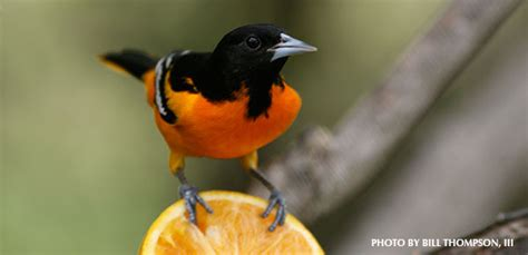 how to attract baltimore orioles to your backyard attracting orioles and tanagers 187 watching backyard birds com