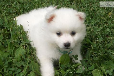 miniature american eskimo puppies meet chicklett miniature a american eskimo puppy for sale for 350 chicklett