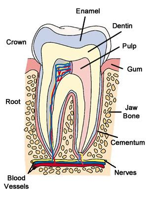 definition pattern teeth permanent dentition these bones of mine