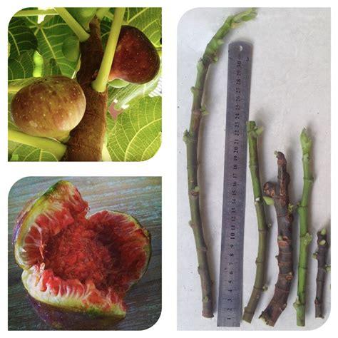 Bibit Coklat Per Batang jual bibit stek batang buah ara fig cutting fig bali