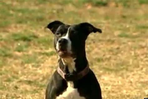 baby saves baby pitbull puppies o pit bull baby saves family