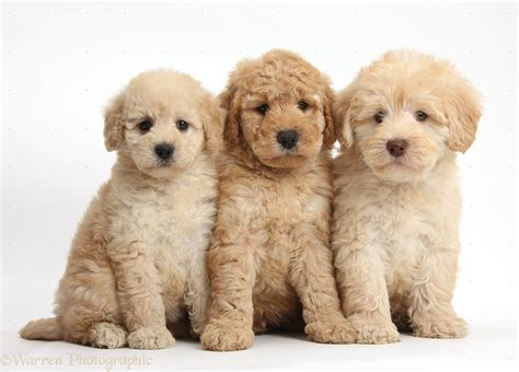 goldendoodle puppies dogs three goldendoodle puppies photo wp37999