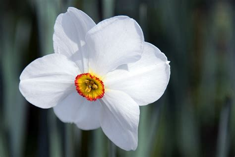 narciso fiore quali fiori scegliere per il balcone di primavera casa it