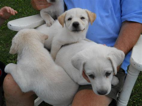 yellow lab puppies for sale in michigan yellow lab siberian husky puppies for sale adoption from eaton rapids michigan ingham