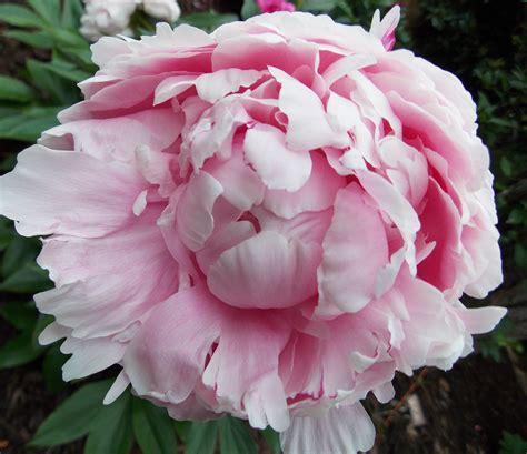 the graceful gardener 187 peonies