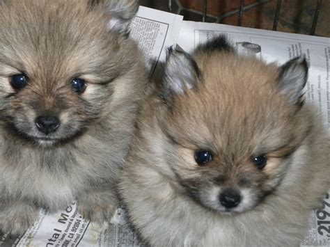 wolf pomeranian puppy 317 best images about i pomeranians on real wolves and puppys